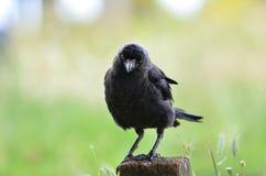 Ворон вытаращиться в парке Ричмонда стоковая фотография