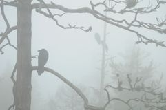 Ворон в тумане Стоковое Изображение