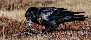 Ворон и его обедающий ржанки Стоковые Фотографии RF