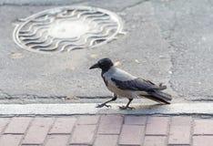 Ворон идет на тротуары города Стоковое Фото