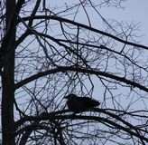 Ворон на ветви в зиме Стоковые Изображения