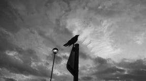 Ворон на поляке смотря вверх (черно-белый) Стоковые Фото