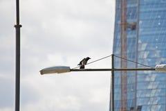 Ворон сидит на фонарном столбе в городе стоковое изображение