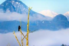 Ворон сидя ветвь дерева ona в польдере Pitt на городке клена Риджа в долине Британской Колумбии, Канаде Fraser Стоковое Фото