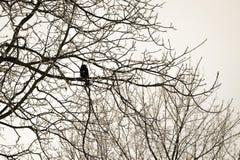 Ворон сидя на фото дерева черно-белом Стоковое Изображение RF