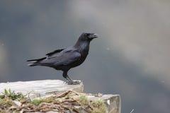 Ворон, corax Corvus Стоковое Изображение