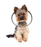 ворот защищает terrier нося yorkshire стоковые изображения rf