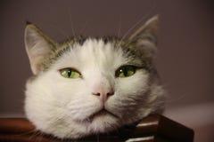 Ворсина положения фото кота смешная на конце кухонного шкафа вверх по фото Стоковое Фото