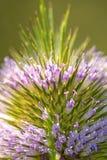 Ворсянка, крупный план цветка Стоковое Фото