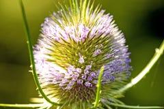 Ворсянка, крупный план цветка Стоковая Фотография RF