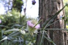 Ворсянка (fullonum Dipsacus) в луге головы цветка teazel Стоковое Изображение RF