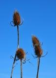 ворсянка fullonum s dipsacus более полная Стоковые Изображения RF