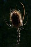 Ворсянка Thistle (fullonum Dipsacus) подсвеченная Стоковые Изображения