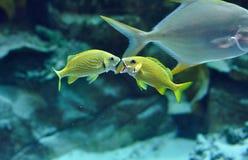 2 ворчанья голубых нашивки выкрикивая в тропических водах Стоковая Фотография RF