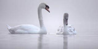 Воспитание - лебеди Стоковые Фото