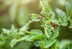 Воспроизводство жука картошки Колорадо Жук 3 Колорадо сидя на листьях картошки Стоковые Изображения RF