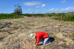 Восстановление дюны в Gold Coast Квинсленде Австралии Стоковое фото RF