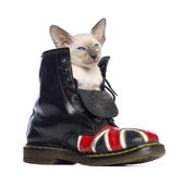 Востоковедный котенок Shorthair сидя в ботинке Стоковое Фото