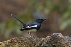 Востоковедный magpie-робин Стоковая Фотография RF