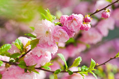 Востоковедная вишня в саде весны Стоковое Фото