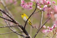 Востоковедная птица Бел-глаза Стоковые Изображения RF