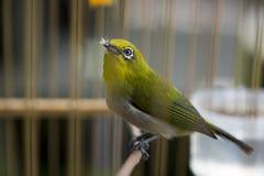 Востоковедная птица Бел-глаза Стоковое фото RF