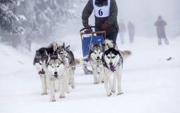 Восторженная команда собак в гонке собаки sledding Стоковое Изображение RF