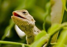 Восточная агама ящерицы сада Стоковое фото RF