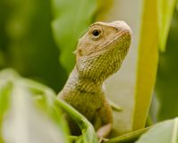 Восточная агама ящерицы сада Стоковые Фотографии RF