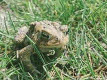 Восточная американская жаба Стоковые Изображения RF