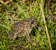 Восточная американская жаба Стоковое Изображение RF
