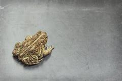 Восточная американская жаба Стоковая Фотография