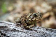 Восточная американская жаба Стоковые Изображения
