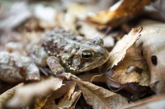 Восточная американская жаба Стоковое фото RF