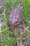 Восточная американская жаба Стоковые Фотографии RF