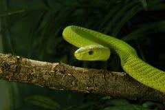 Восточная африканская зеленая мамба Стоковые Фотографии RF