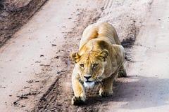 Восточная африканская пантера leo львиц подготавливая поохотиться Стоковое Фото