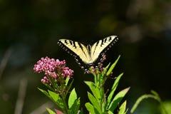 Восточная бабочка Swallowtail тигра отдыхая на цветке Стоковое Изображение RF