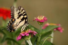 Восточная бабочка Swallowtail тигра Стоковые Изображения RF