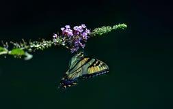 Восточная бабочка Swallowtail тигра Стоковое Фото
