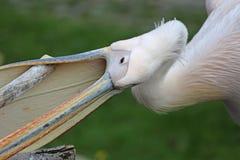 восточная белизна пеликана Стоковые Изображения RF