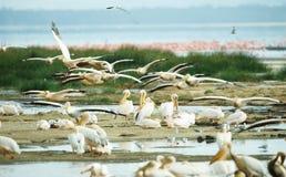 восточная белизна пеликана pelecanus onocrotalus Стоковые Фото