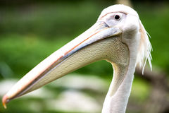 восточная белизна пеликана стоковые фото