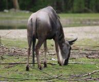Восточная бело-бородатая антилопа гну Стоковая Фотография