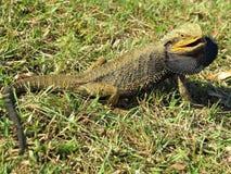 Восточная бородатая ящерица дракона Стоковое фото RF