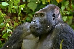 Восточная горилла в красоте африканских джунглей Стоковое фото RF