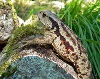 восточная далекая жаба 6 Стоковые Изображения RF