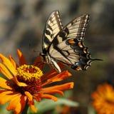 Восточная желтая бабочка swallowtail тигра Стоковые Изображения