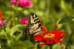 Восточная желтая бабочка Swallowtail Стоковая Фотография RF