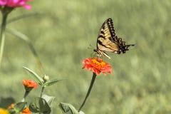Восточная желтая бабочка 2 Swallowtail Стоковая Фотография RF